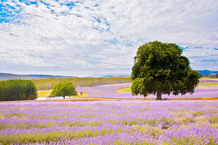 What to do in Port Arthur - Visit the Lavender farm