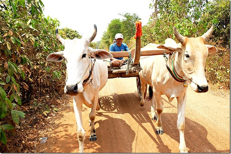 Cambodia Tours: Ox Cart Ride