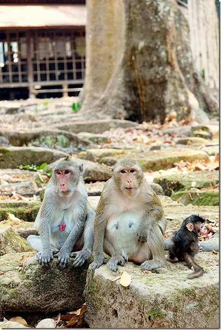 Monkeys-at-Angkor-Wat
