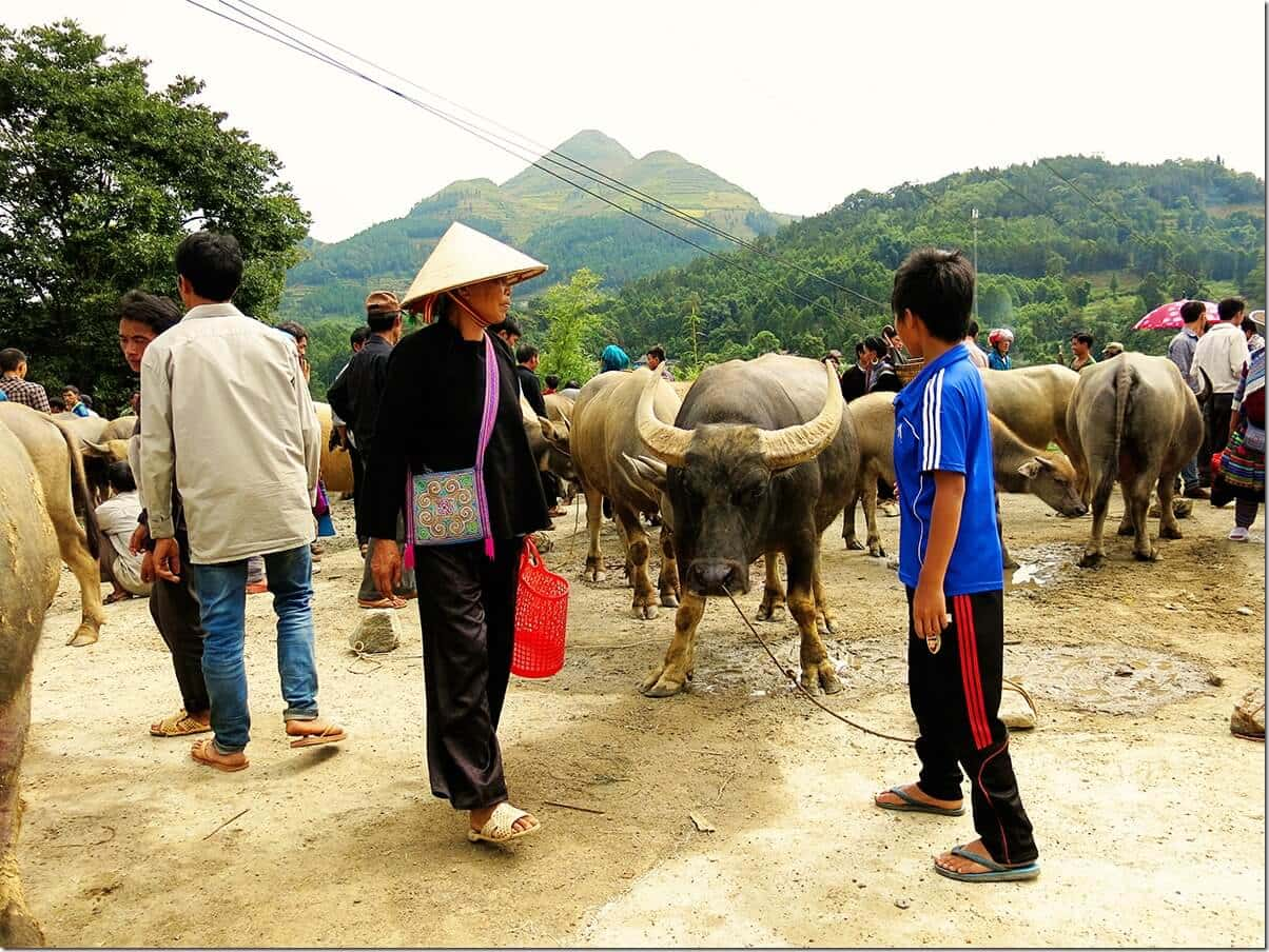 Buffalo at Bac Ha market in Sapa, Vietnam