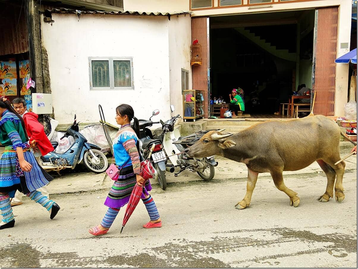 Taking a buffalo to Bac Ha Markets Vietnam