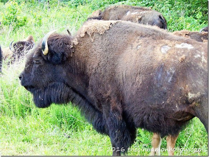 bison-land-between-the-lakes