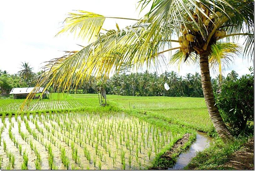 Best rice fields in Bali