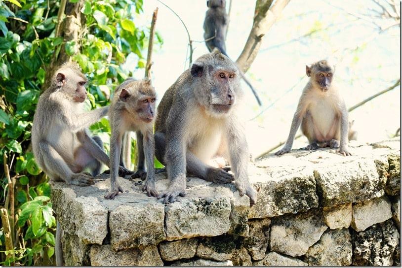 Greenbowl Beach Southern Bali Monkeys