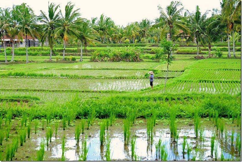 Ubud Rice Paddy Walk