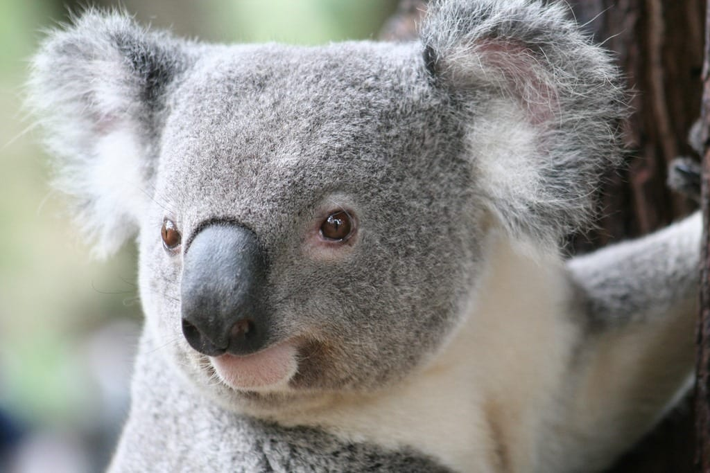 Kids Activities Brisbane | Visit Lone Pine Koala Sanctuary