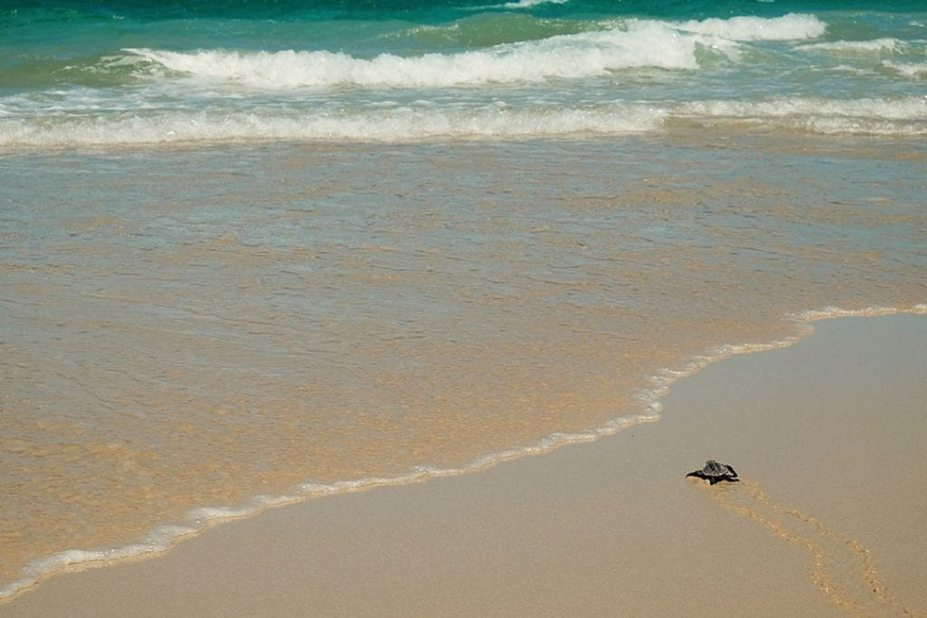 Baby Turtle on Moreton Island