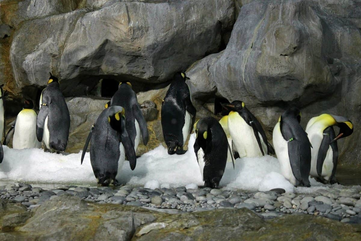emperor-penguin-217119_1280