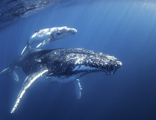 Swim with Humpback Whales - Mum & Calf - credit Migration Media - Underwater Imaging