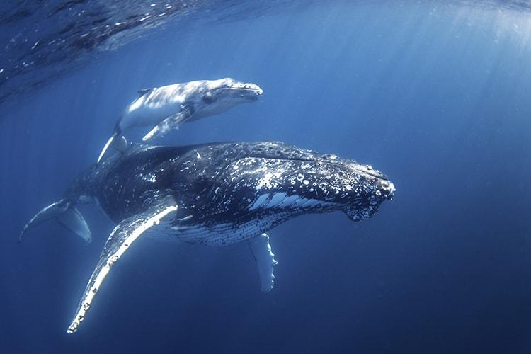 Swim with Humpback Whales - Mum & Calf - credit Migration Media - Underwater Imaging