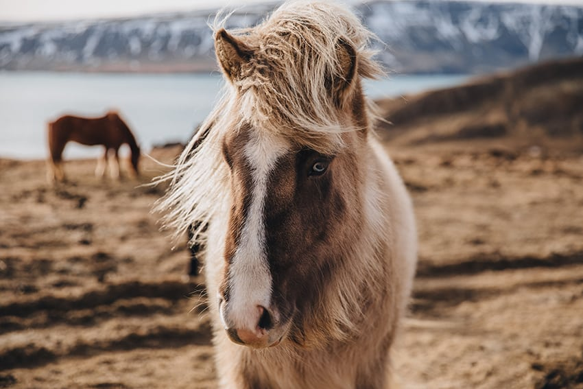 Reasons to visit Iceland - To see the Beautiful Icelandic Horses