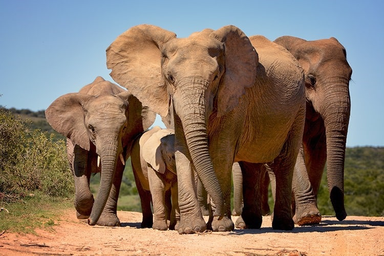 Elephants walking in Addo Elephant national park, South Africa