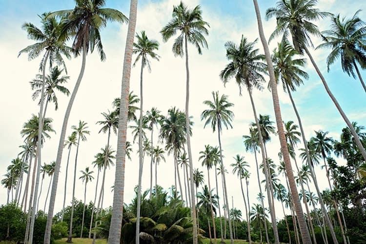 Ratua Island Coconut Plantations