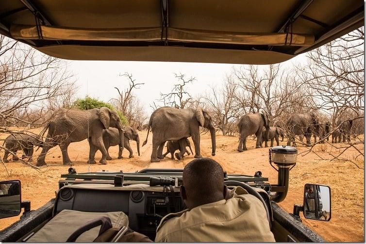 observing Elephants crossing the road, Chobe River, Chobe National Park