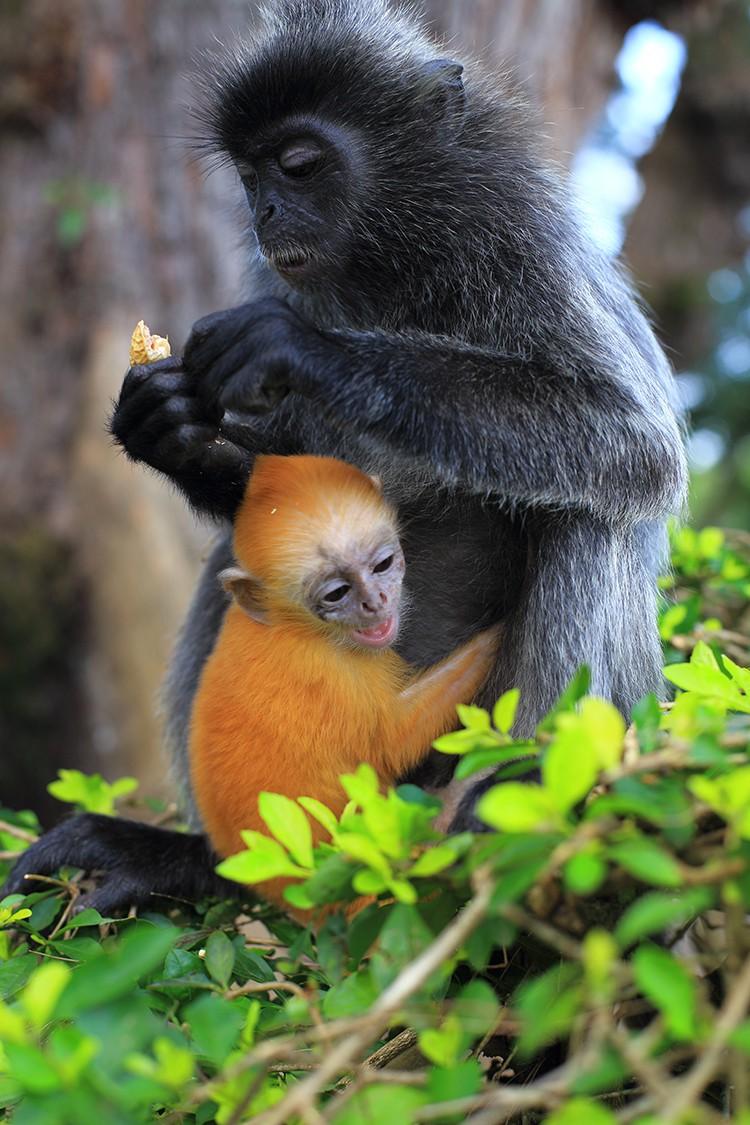 Silvered leaf monkey with its orange colored baby, Kuala Selangor, Malaysia