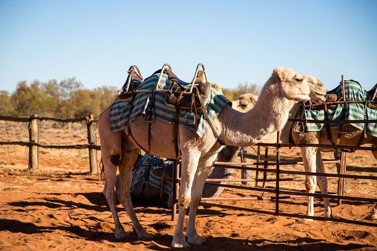 Best Events in Australia - Camel Cup at Alice Springs