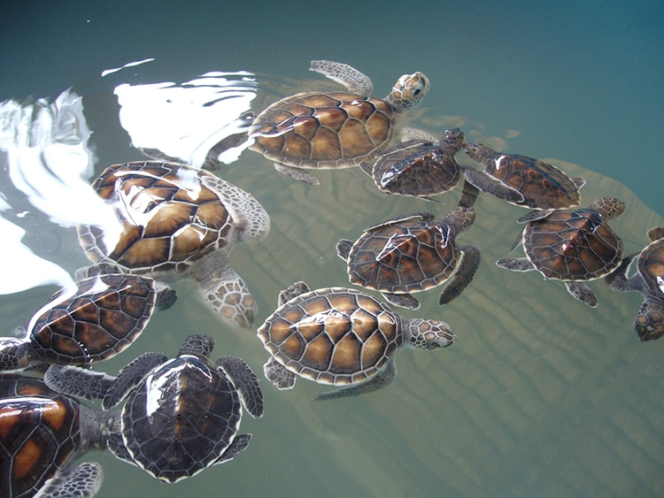baby turtles in Thailand