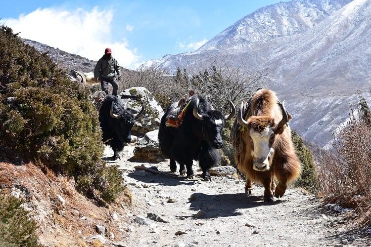 Everest Base Camp Trek - Animals
