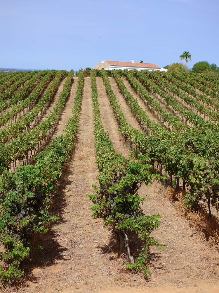 Vineyards at Algrave Portugal