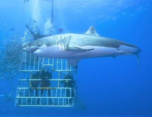 Cage Diving with Great White