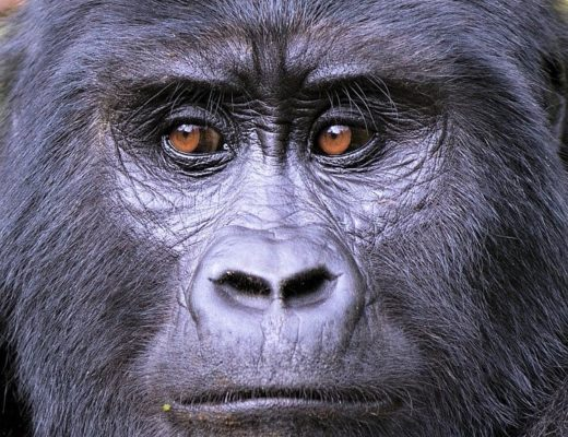 Uganda Tours - Encounter Gorillas and Wildlife on a Uganda Tour
