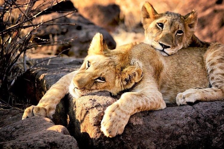 Uganda Tours - Uganda Lions