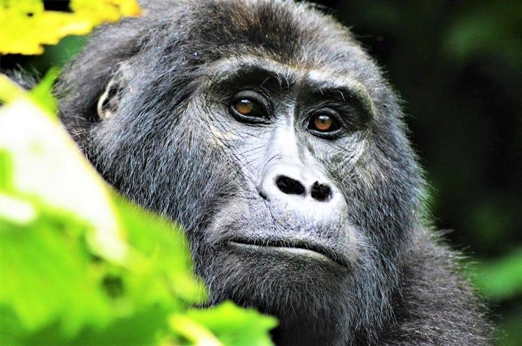 Uganda Tours - Uganda Primates