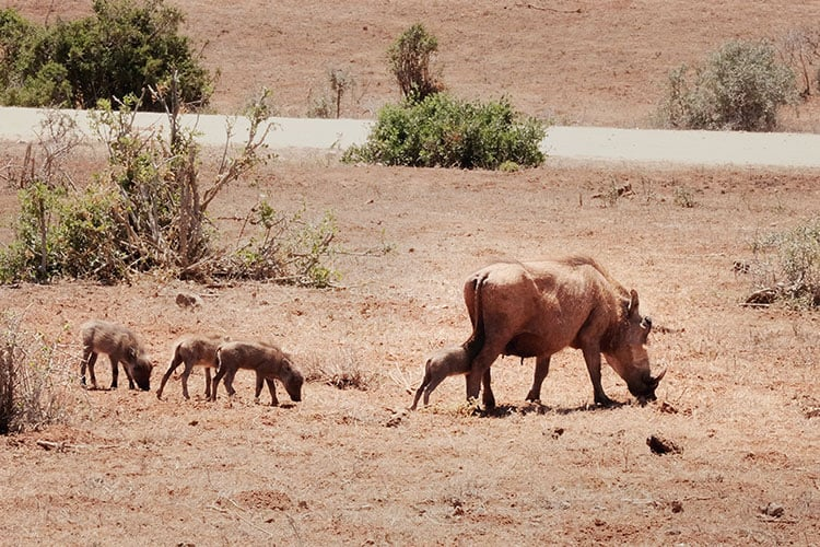 Animals-at-Addo-National-Park-in-South-Africa