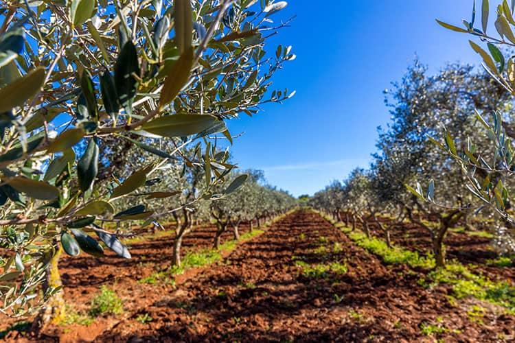 Olive Farms in Ostuni