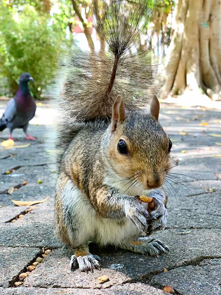 Squirrel Feeding at the Company Gardens