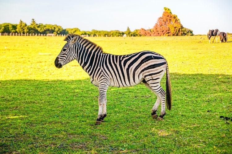 Zebra in Brijuni Islands National Park