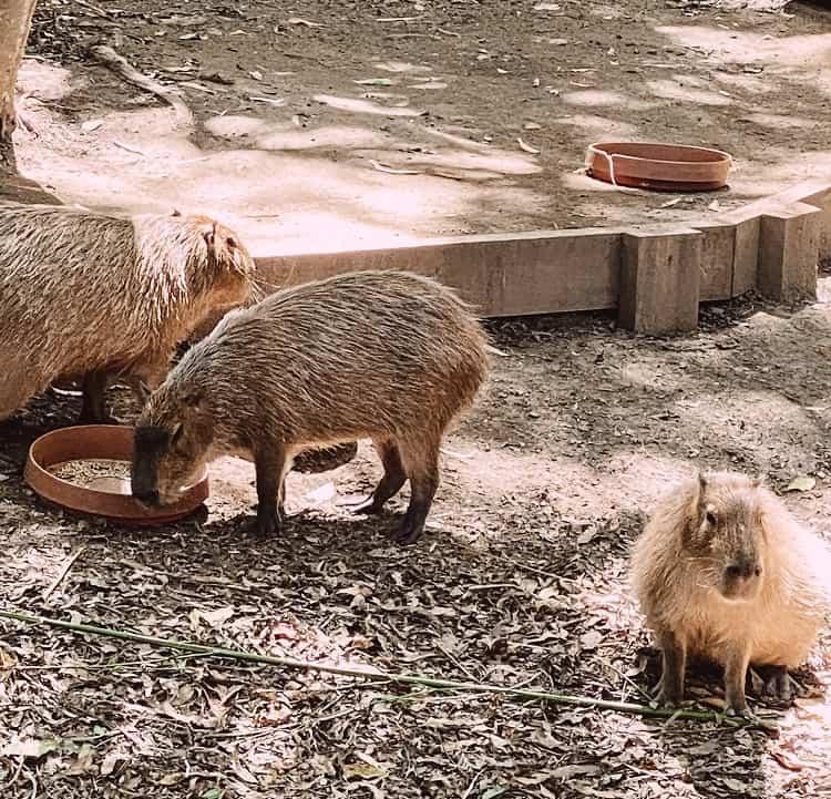 Currumbin Wildlife Sanctuary with Kids - Capybaras