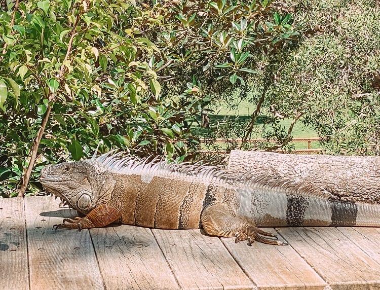 Currumbin Wildlife Sanctuary with Kids - Iguana