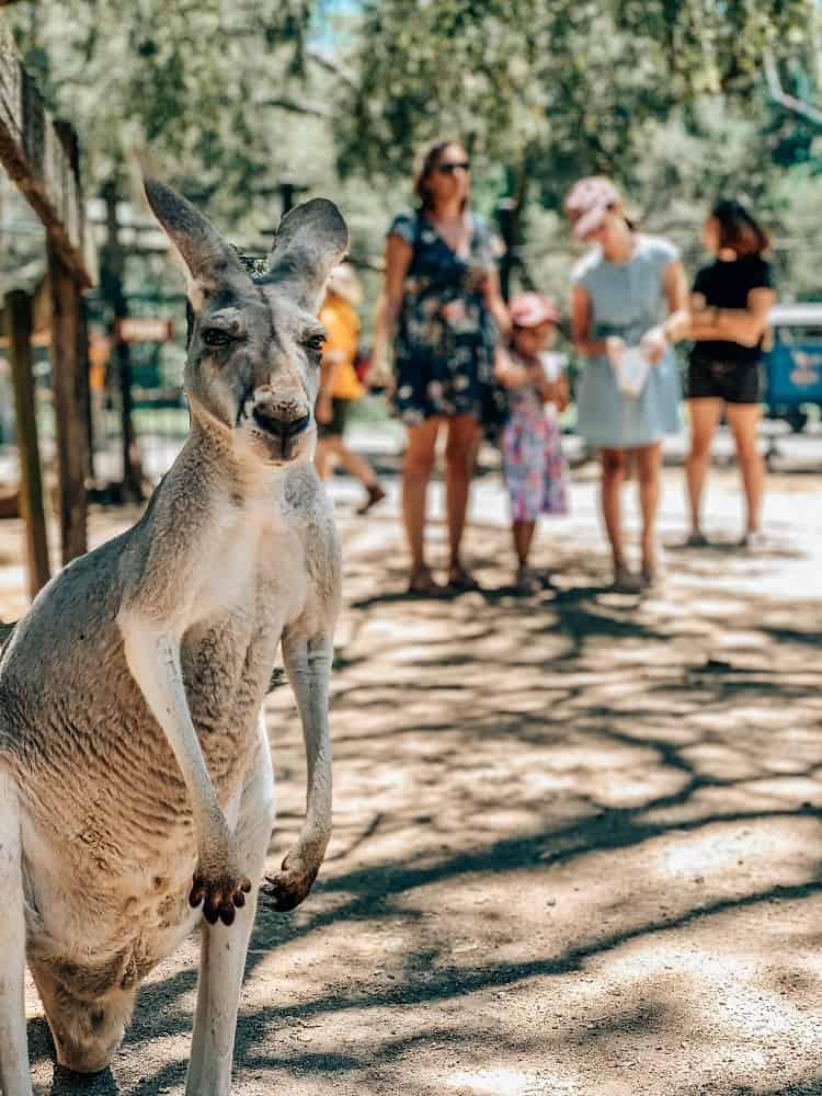 Currumbin Wildlife Sanctuary with Kids - Kangaroo Selfie