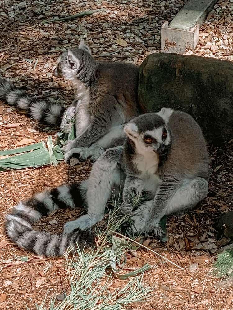 Currumbin Wildlife Sanctuary with Kids - Ringtail Lemur