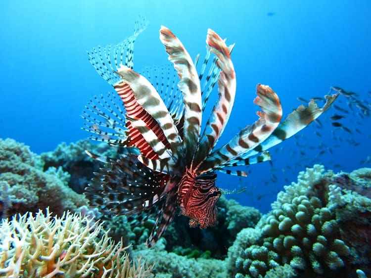 7 Fun Activities to do in the Caribbean With Kids - Lionfish underwater